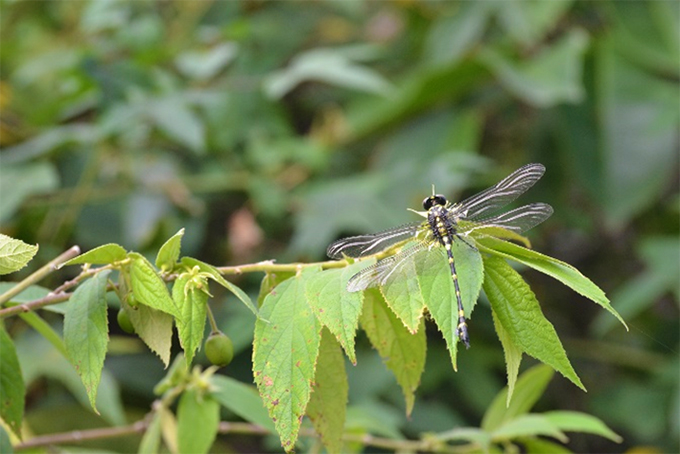 Revival and protection of the Beddagana wetland has created a haven for wildlife. The presence of animals such as dragonflies are indications of the improved environmental health of the area. Over 250 plants and 280 animal species have been recorded in the Colombo wetland