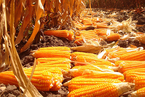 Experimental harvest of provitamin A-enriched orange maize, Zambia, 2010. Photo credit: Flickr @CIMMYT