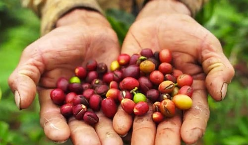 Coffee beans in the hands of a Peruvian farmer.