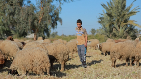 Young man tends to the livestock in rural Kurdistan, Iraq