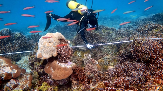 Measuring coral reefs in Indonesia's oceans—tracking coral reef health provides important data needed to maintain the health productivity of these important habitats and the environmental services they provide.  Photo: LIPI