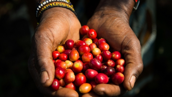 Freshly harvested coffee beans in the region of Minova, in South Kivu. Photo: © Vincent Tremeau/World Bank