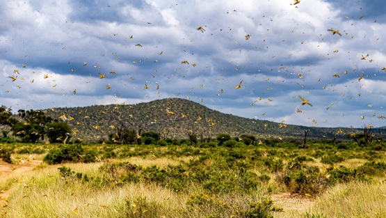 A locust crisis is threatening food security and livelihoods across the globe. Photo credit: Jen Watson, Shutterstock