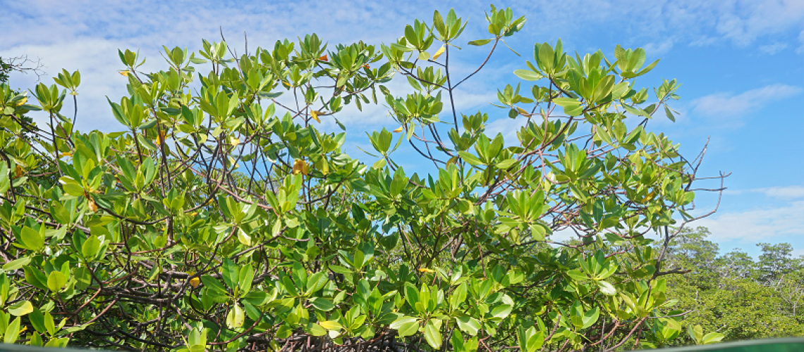 Photo of mangroves via Shutterstock