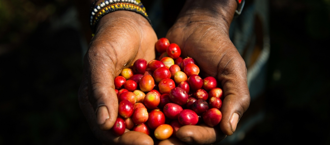 Freshly harvested coffee beans in the Minova region of South Kivu. © Vincent Tremeau / World Bank