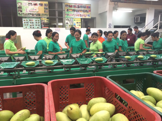 Hi-Las workers weighing and sizing mangoes. Source -