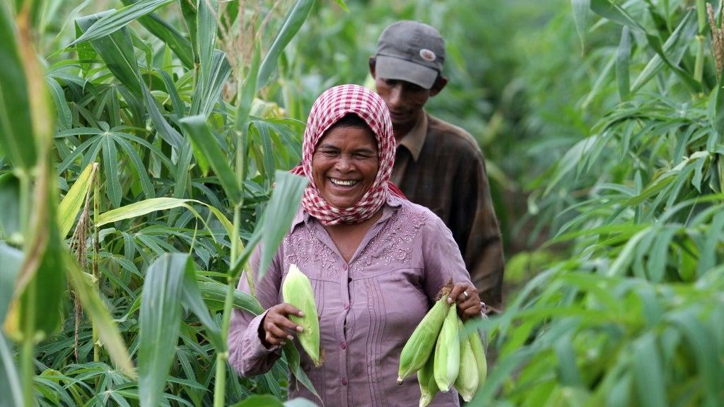 Corn harvest in Cambodia. Photo: Chhor Sokunthea/World Bank