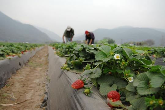 Agriculture workers on a strawberry farm in Argentina. © Nahuel Berger/World Bank