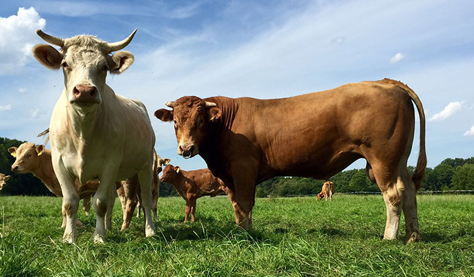 Behavioural characteristics of cattle