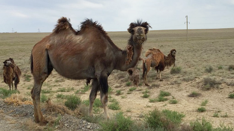 The region boasts the largest population of camels in Kazakhstan – more than 40% - which makes it a destination for the development of the agro-processing sector.